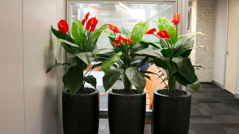 צמחי אנטוריומים גדולים בלובי משרדים