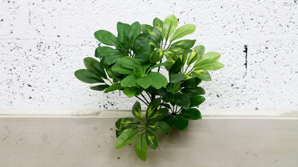 עלים ירוקים - פיטוספורום