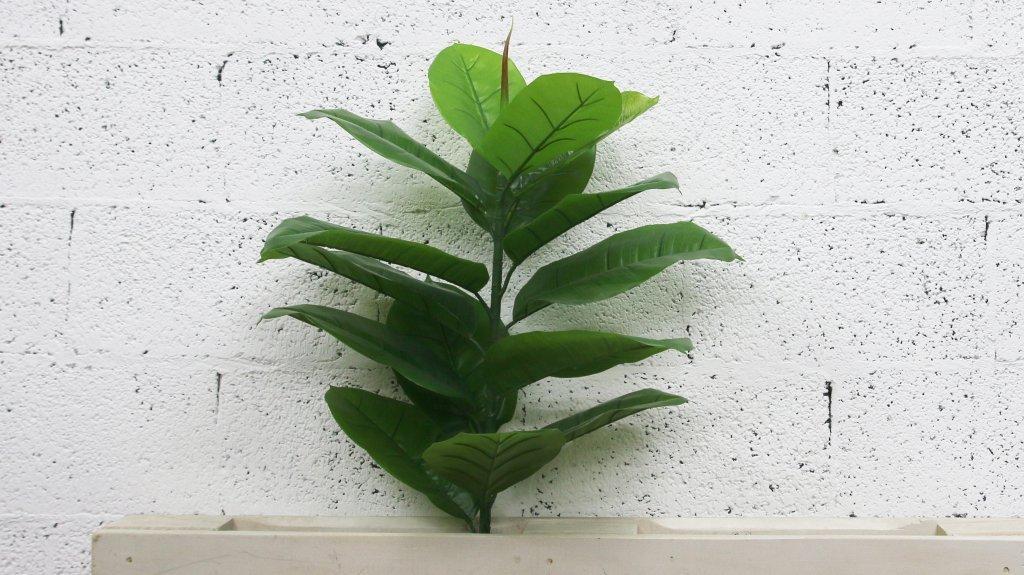 ענף עץ פיקוס גומי