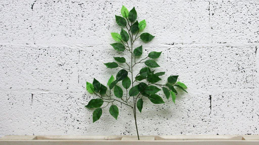 ענף פיקוס בנימיני