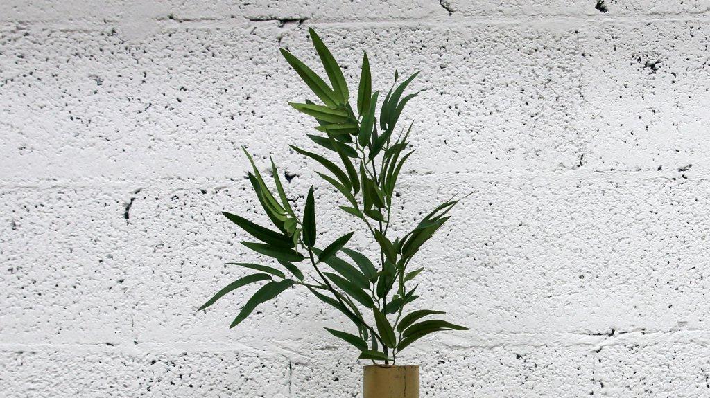 ענף במבוק
